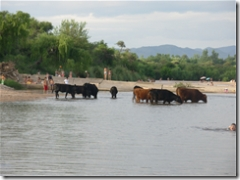 cows crossing upstream